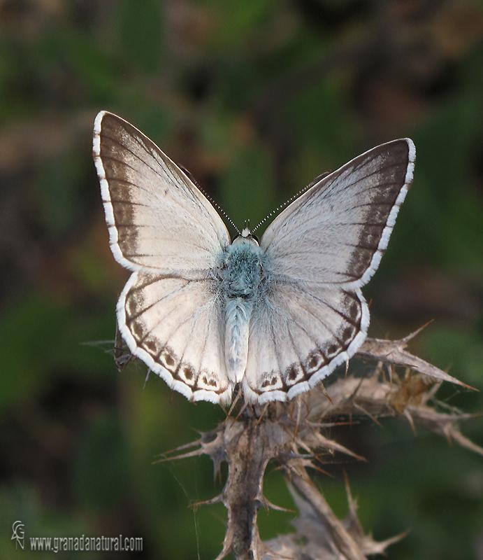 Polyommatus albicans 2