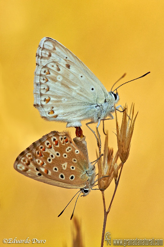 Polyommatus albicans 5