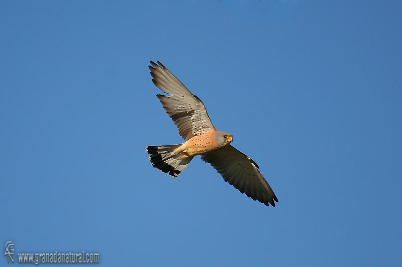 Falco naumanni - Cern�calo primilla