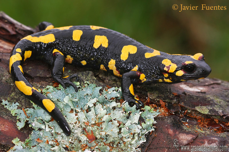 Salamandra común (Salamandra salamandra morenica)