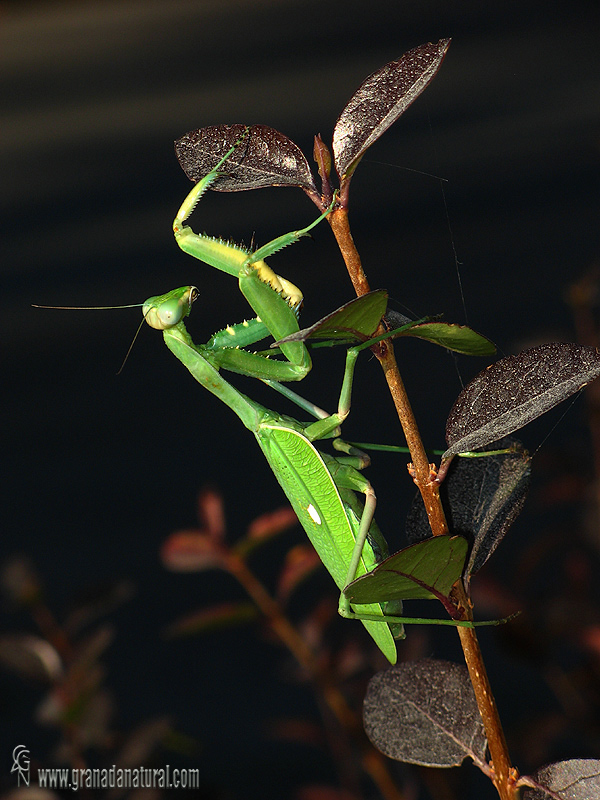 Sphodromantis-viridis 1 Mantis Granada Natural