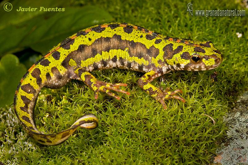 Triturus pygmaeus (Trit�n pigmeo)