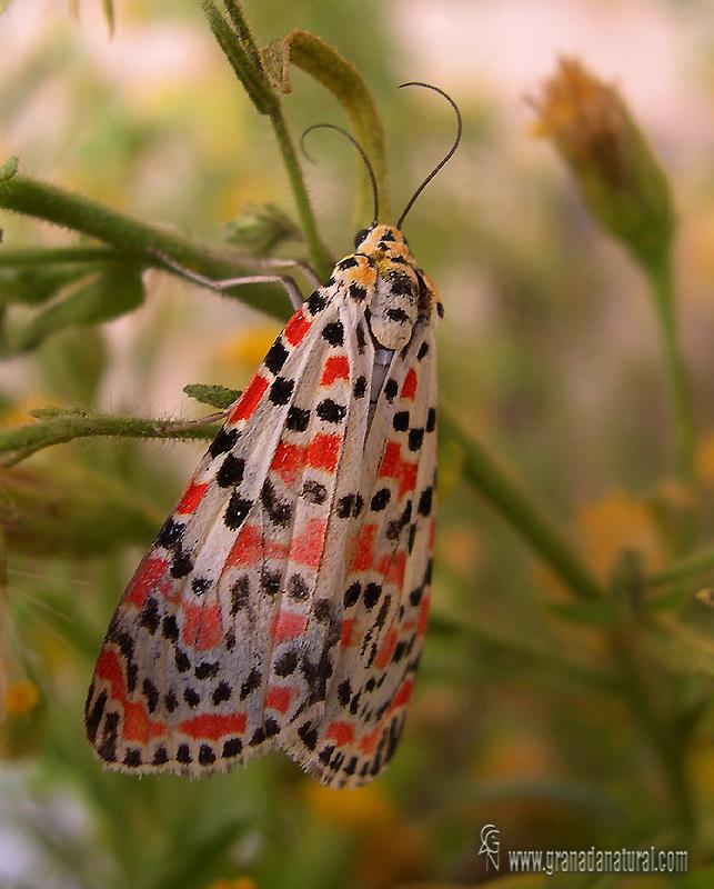 Utetheisa pulchella 1 Mariposas Granada Natural