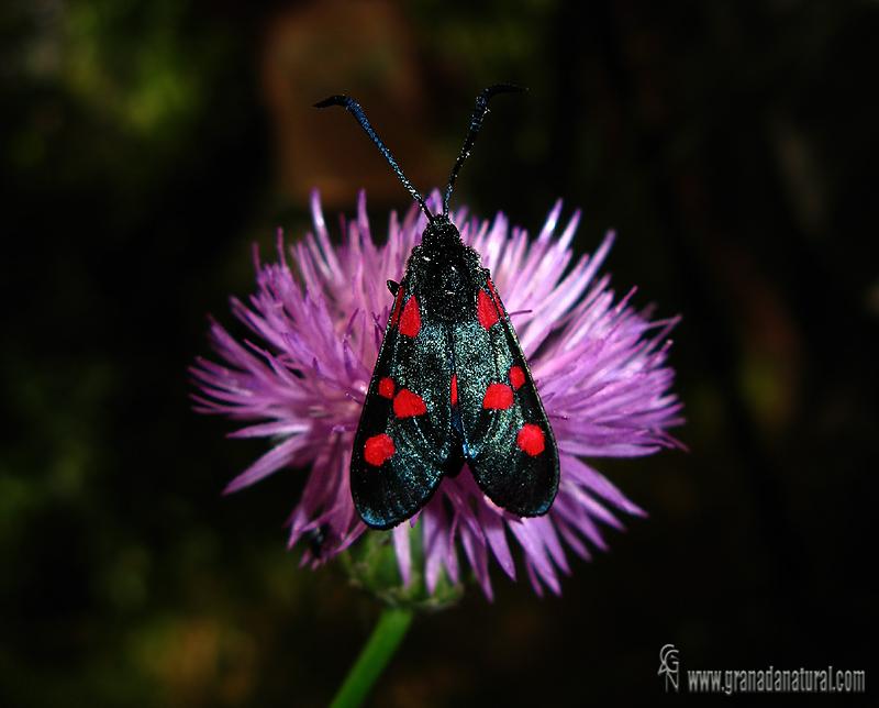 Zygaena trifolii 1 Mariposas Granada Natural