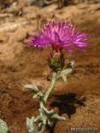 Centaurea bombycina ssp. bombycina 1