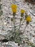 Centaurea granatensis 1