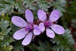 Erodium cicutarium 1