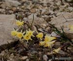 Narcissus hedraeanthus 1