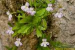 Pinguicula vallisneriifolia 1