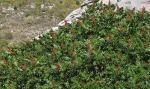 Rhus coriaria zumaque 1