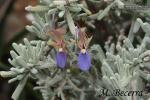 Rosmarinus tomentosus 1