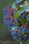 Viburnum tinus 1