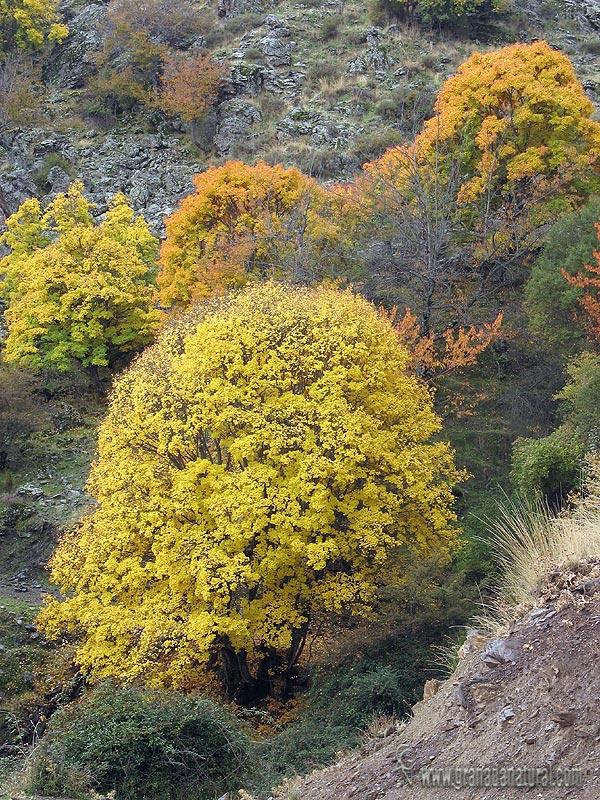Acer opalus ssp granatense