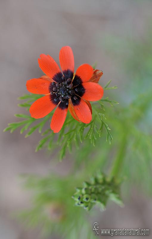 Adonis annua 1 Flora Granada Natural