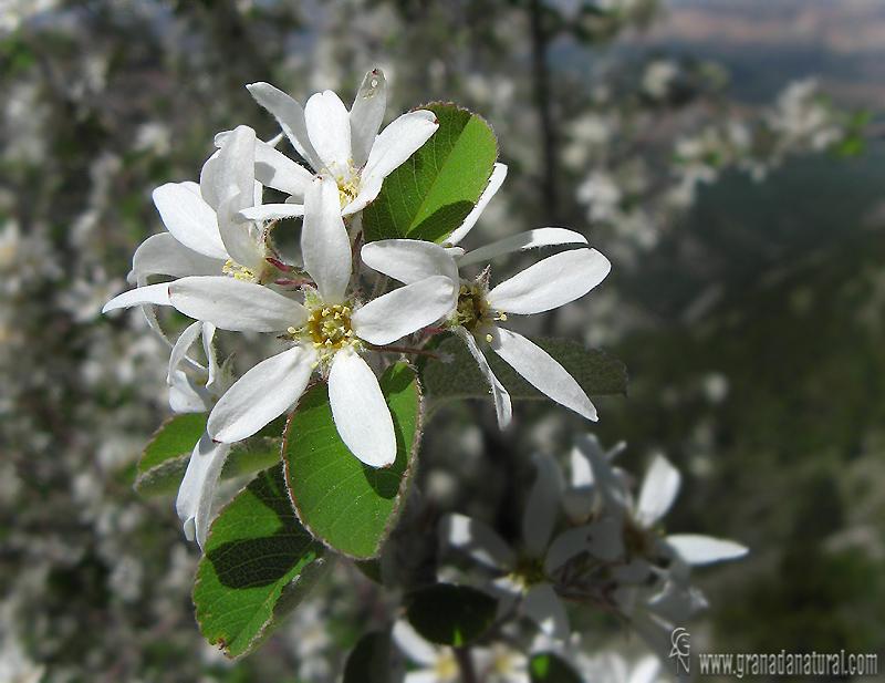 Amelanchier ovalis 1 Granada Natural