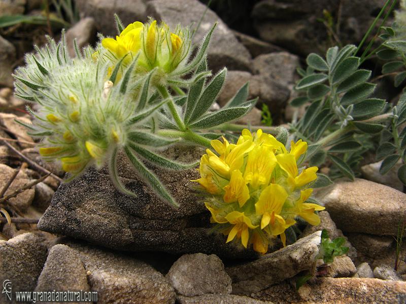 Anthyllis tejedensis ssp. tejedensis