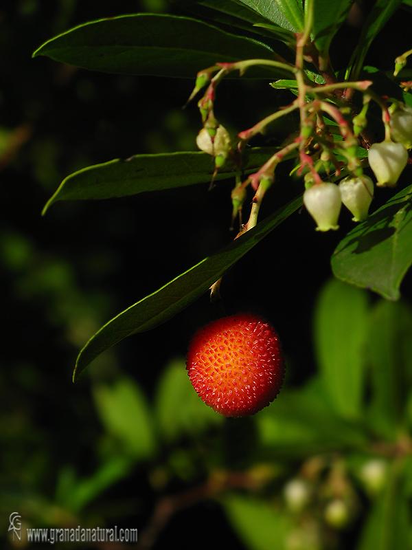 Arbutus unedo 1 Granada Natural