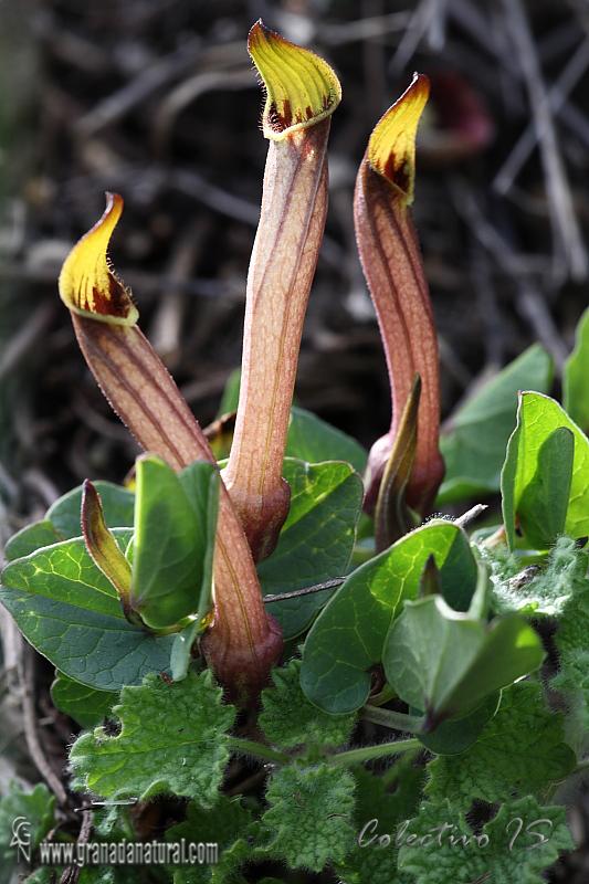 Aristolochia paucinervis 1