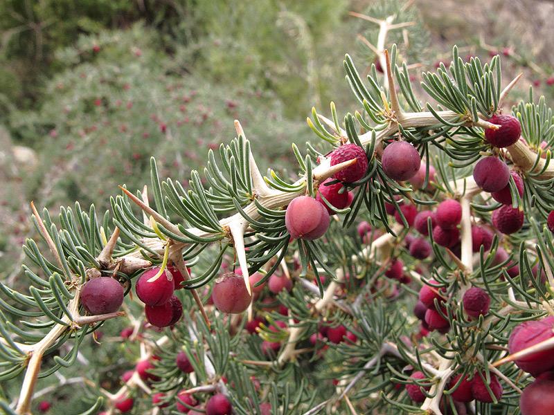 Asparagus albus 1