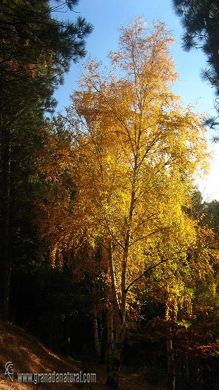 Betula pendula ssp fontqueri 1 Arboles Granada Natural