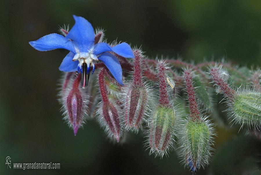Borago officinalis 1