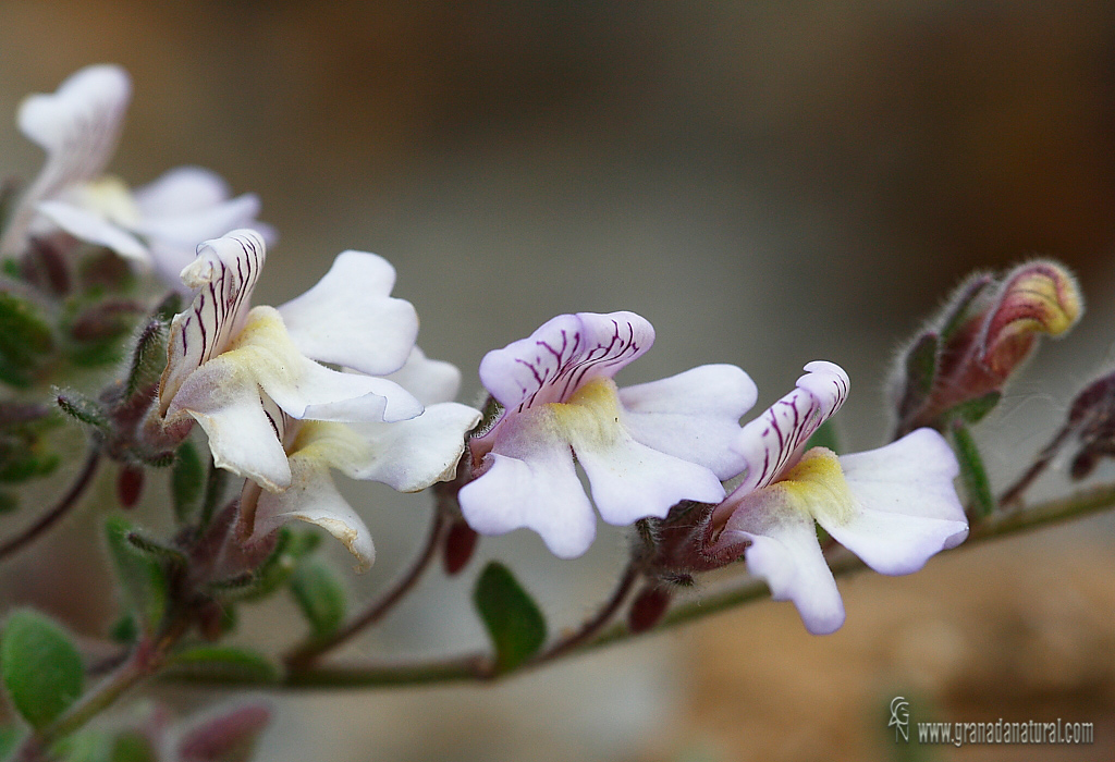 Chaenorrhinum villosum ssp villosum 1 Flora Granada Natural