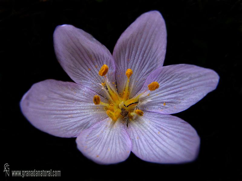 Colchicum triphyllum 1 Flora Granada Natural