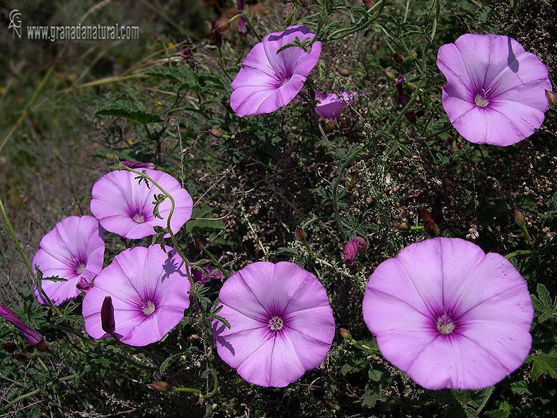 Convolvulus althaeoides 1 Flora Granada Natural