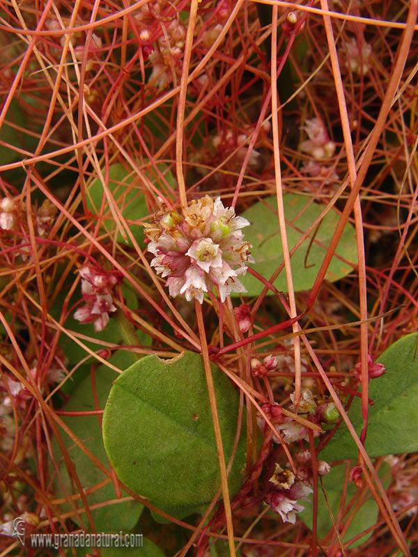 Cuscuta epithymum 2 Granada Natural