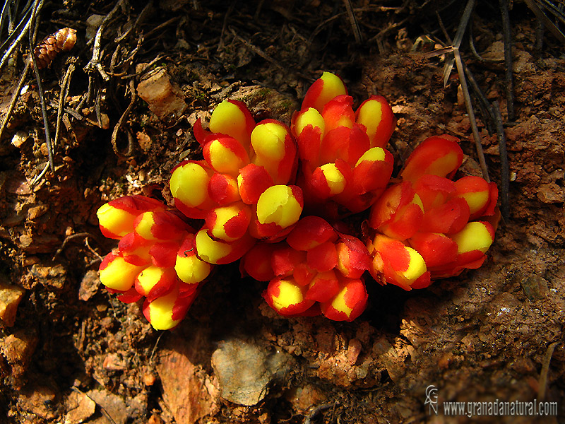 Cytinus hypocistis 1 Flora Granada Natural