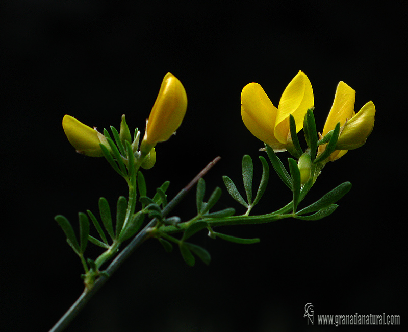 Cytisus fontanesii ssp fontanesii