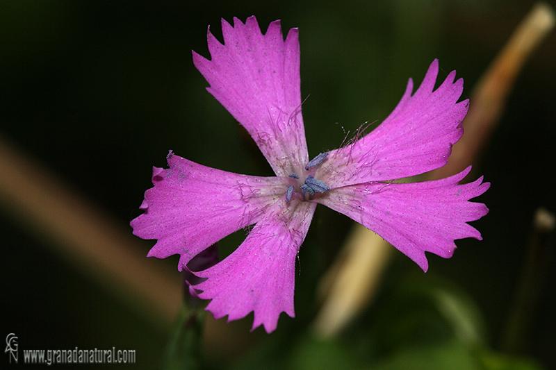 Dianthus lusitanus 1 Flora Granada Natural