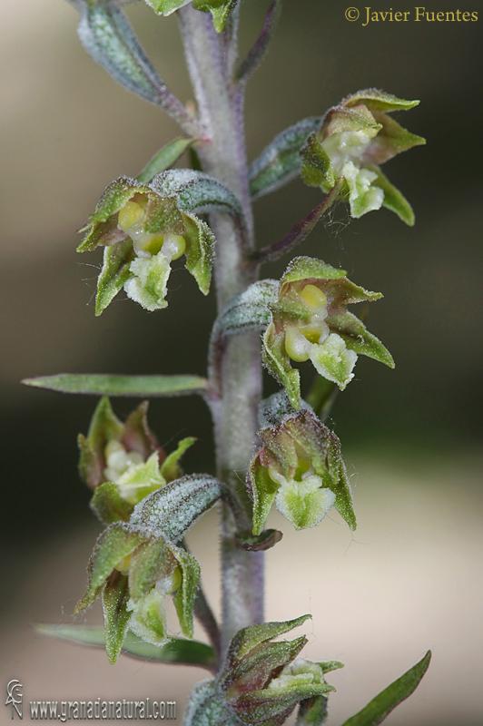 Epipactis microphylla 1 Orquideas Granada Natural