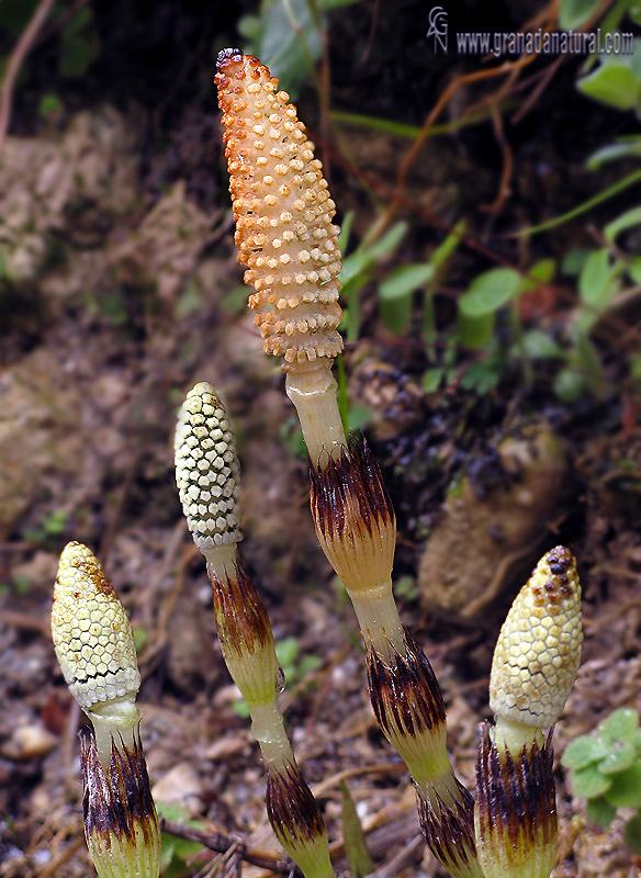 Equisetum arvensis 1 Flora Granada Natural