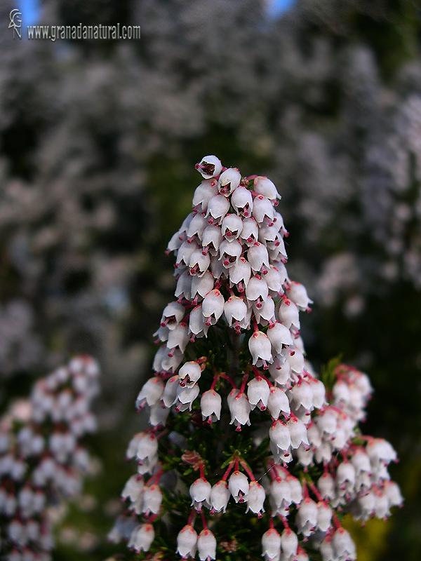 Erica arborea 1 Arbustos Granada Natural