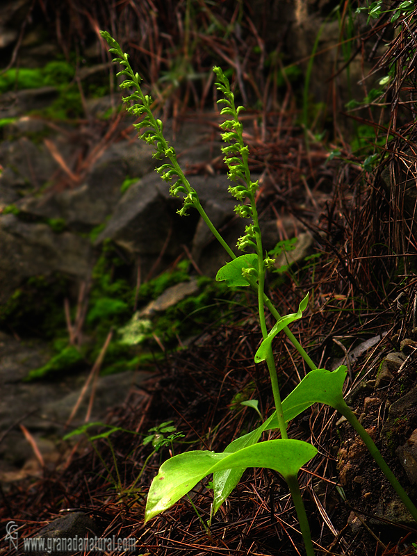 Gennaria diphylla 1