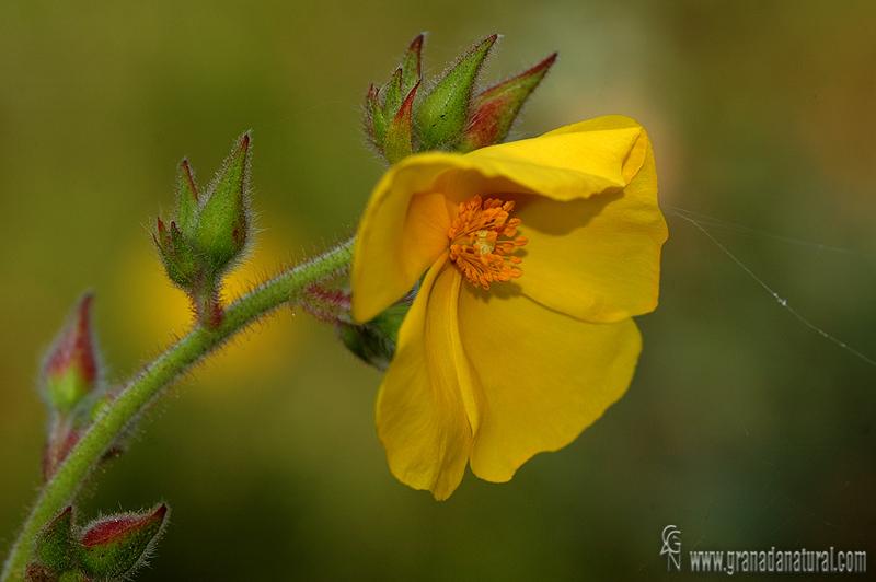 Halimium atriplicifolium 1 Granada Natural