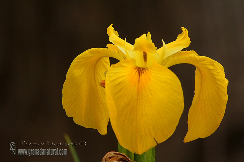 Iris pseudacorus 1 Granada Natural
