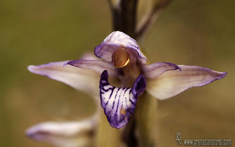 Limodorum abortivum 1 Orquídeas Granada Natural