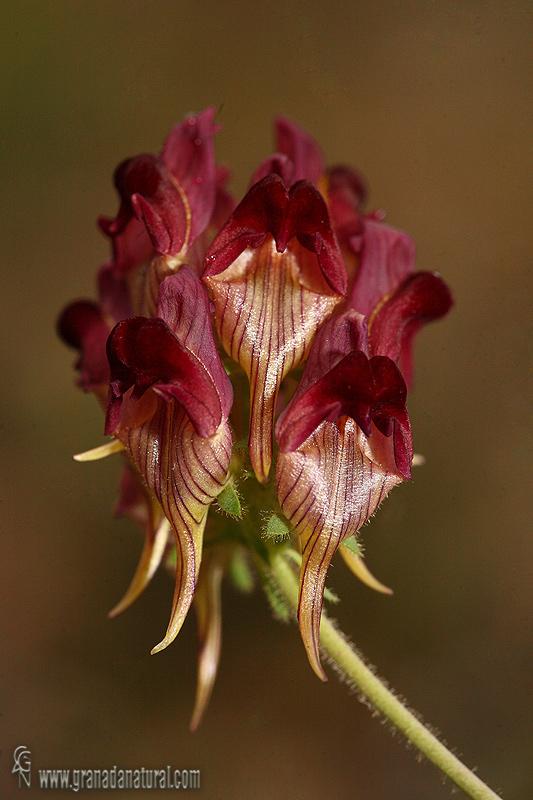 Linaria aeruginea ssp. aeruginea 1