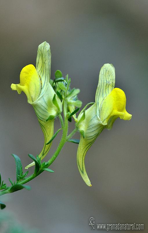 Linaria verticillata 1 Flora Granada Natural
