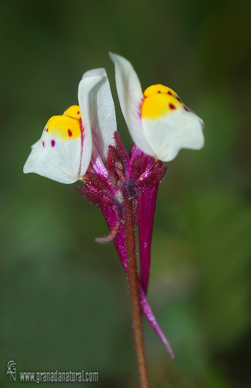 Linaria amethystea ssp. multipunctata 1