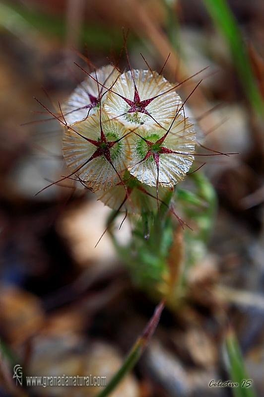 Lomelosia stellata 1