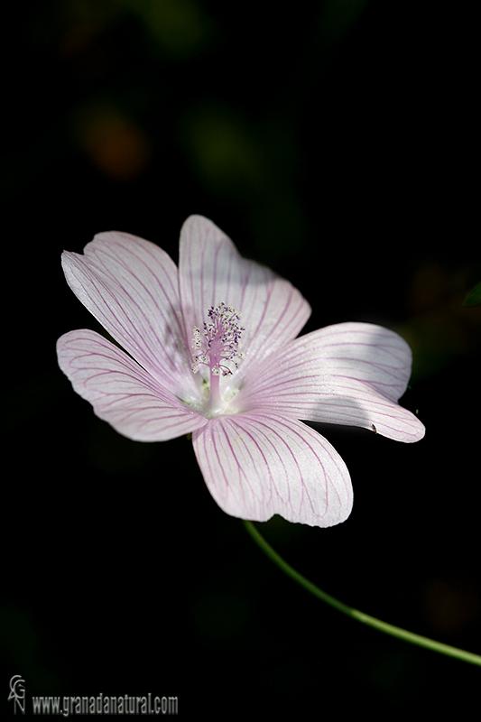 Malva tournefortiana 1 Flora Granada Natural