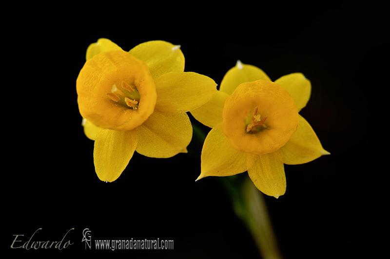 Narcissus cuatrecasasii 1 Flora Granada Natural