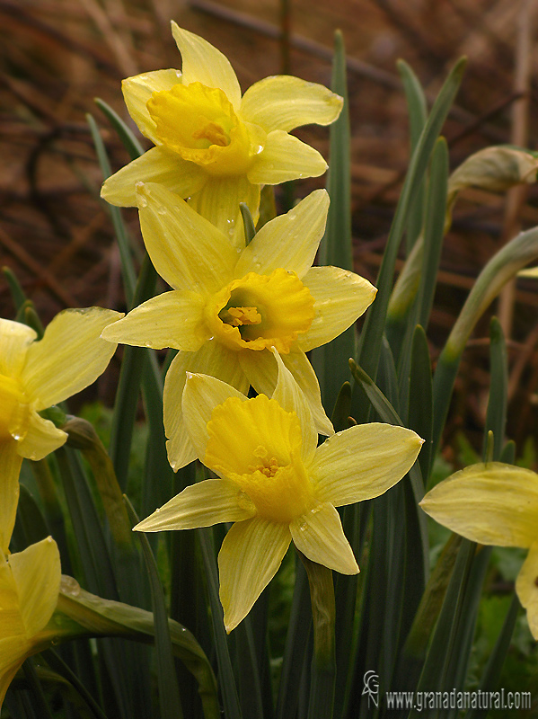 Narcissus nevadensis 1