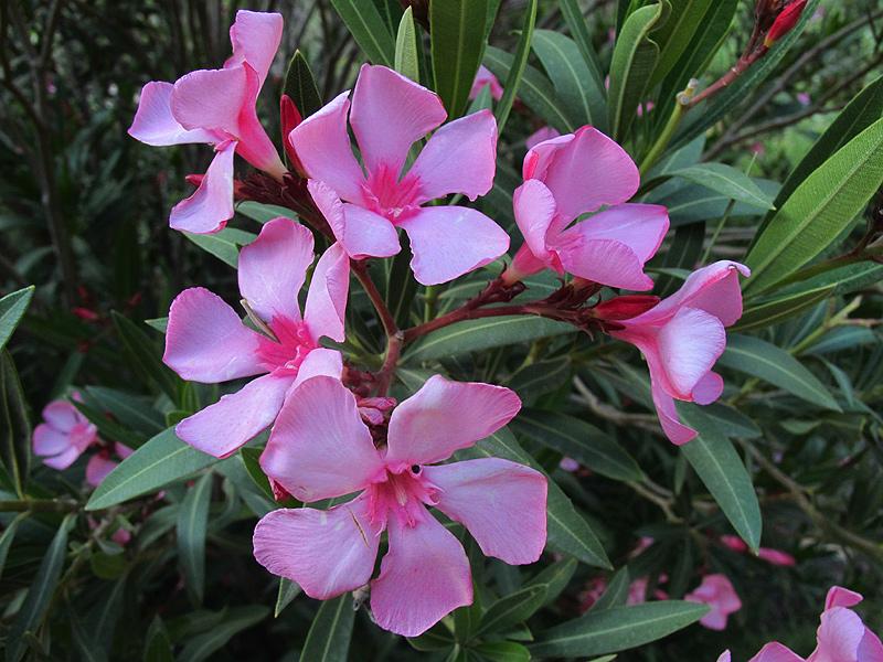 Nerium oleander 1