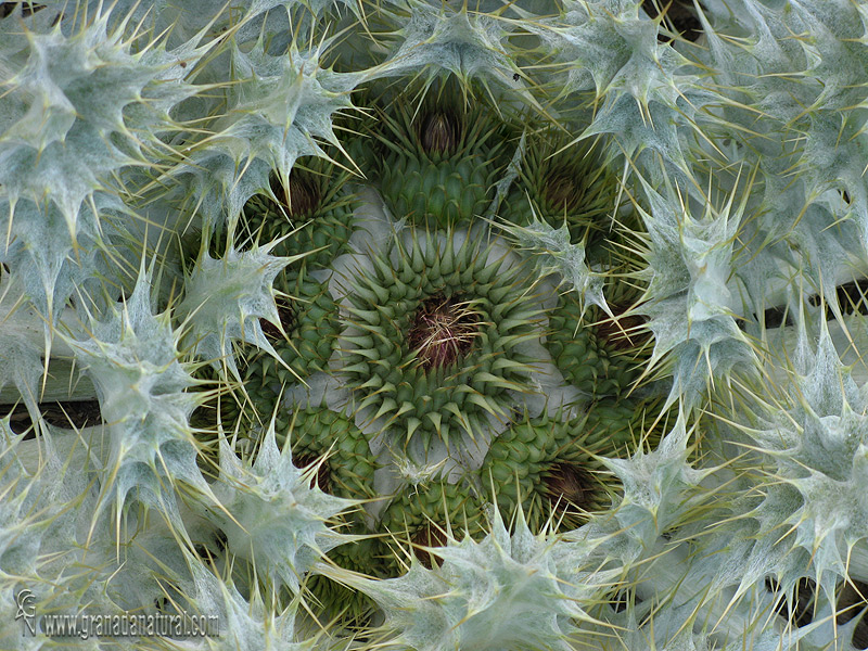 Onopordum acaulon 1 Flora Granada Natural