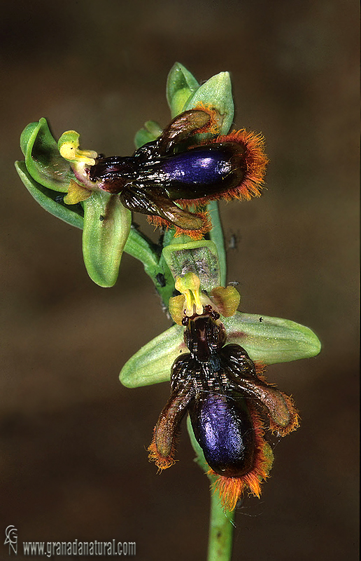 Ophrys speculum ssp lusitanica 1
