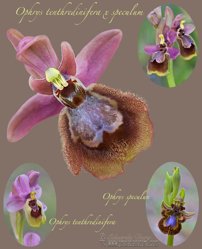 Ophrys x heraultii 1 Orquideas Granada Natural